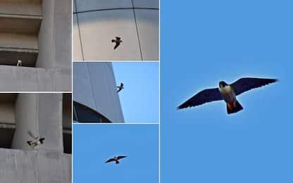 San Siro, un falco ha il nido allo stadio! FOTO