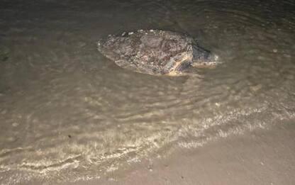 Guardia costiera Pesaro salva tartaruga marina Baia Flaminia