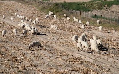 Scoperto allevamento abusivo pecore e capre