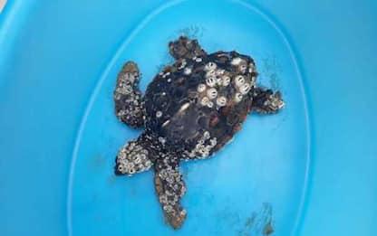 Sos tartarughe marine in E-R e Marche, recuperate moribonde