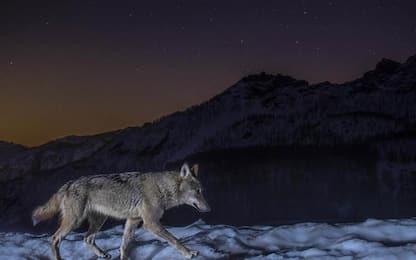 Animali: lupo 'catturato' da fototrappola in pieno lockdown