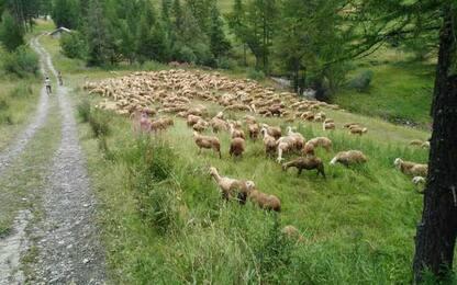Zootecnia: 'Pascoli d'oro' a Etroubles, un indagato