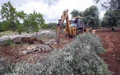 Xylella: altre 93 piante malate a Brindisi e Taranto