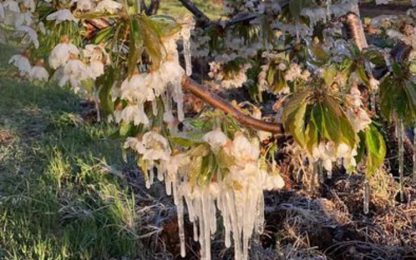 Coldiretti Puglia, gelo improvviso ha devastato coltivazioni