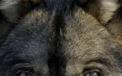 Avvistato branco di lupi a Calderara di Reno nel Bolognese