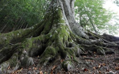 Ambiente: E-R, 70 nuovi ingressi nell'elenco alberi monumentali