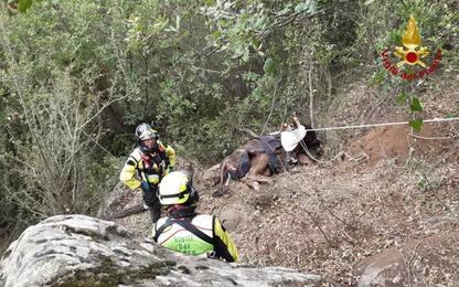 Bovino cade in un dirupo, salvato da elicottero Vigili fuoco