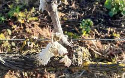 Centinaia di ettari di colture bruciate dal gelo in Sardegna
