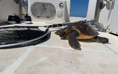 Tartaruga salvata nell'Area marina protetta del Sinis