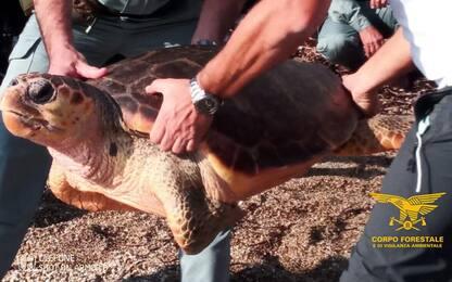 Curata in vasca per mesi, liberata tartaruga Caretta caretta