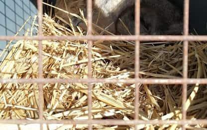 Guarita e liberata nel bosco volpe investita a giugno