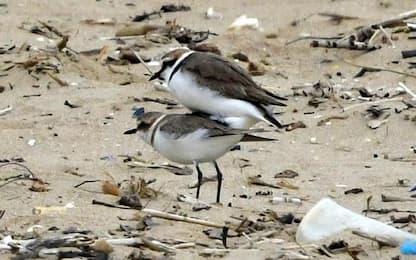 Primo nido fratino 2021 in spiaggia a Termoli