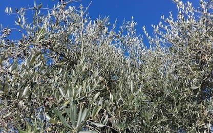 Unimol sperimenta trappole per insetti infestanti olivo