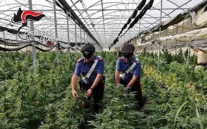 Cc scoprono coltivazione canapa, oltre diecimila piante
