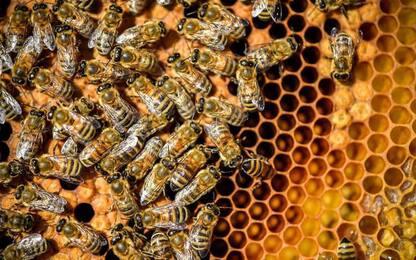 Coldiretti Massa Carrara, emergenza per insetto killer api