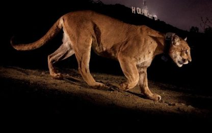 Fotografia, a Siena i Big cats di Steve Winter