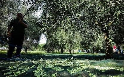 Olio: Caritas Lucca raccoglie olive per più bisognosi