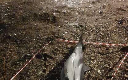 Spiaggiato piccolo cetaceo a San Michele di Pagana