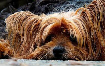 Cucciolo di cane muore in casa, indaga la procura