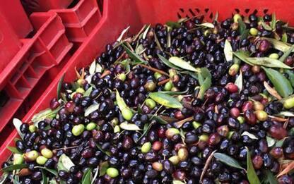 Imperia, l'oliva taggiasca ottiene marchio Liguria dalla Ue