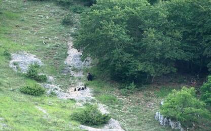 Parco Abruzzo,orsa a spasso con cuccioli