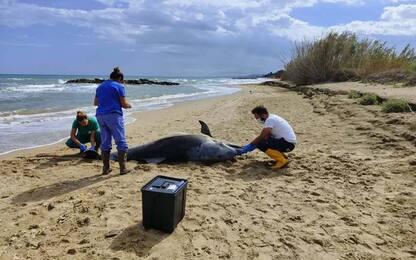 Due delfini spiaggiati, emergenza interazioni con l'uomo
