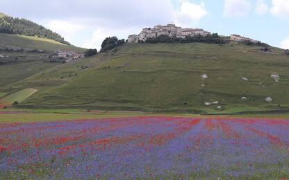 Via raccolta lenticchia Castelluccio