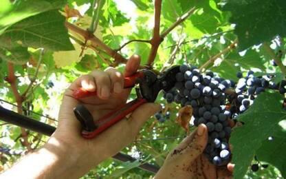 Un milione di euro per gli impianti viticoli