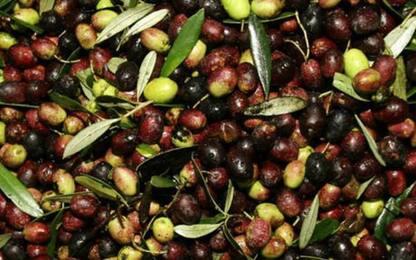 Alimentare: in Basilicata il tavolo del comparto olivicolo