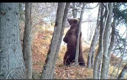 Inseguono orsa con cucciolo, responsabili identificati