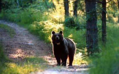 Individuato orso monte Peller, è una femmina