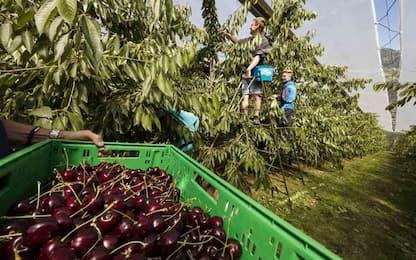 Agricoltura: ciliegie val Venosta, vendita parte in anticipo