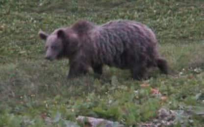 Provincia Trento, orso M49 castrato chimicamente