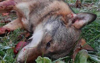 Ancora un lupo investito e ucciso in Trentino