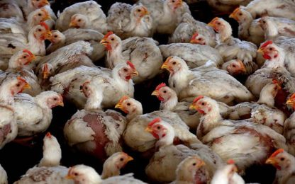Focolaio influenza aviaria in allevamento tacchini in Veneto