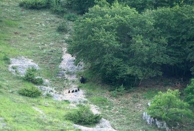 Parco Nazionale d'Abruzzo, avvistata orsa con 4 cuccioli. FOTO