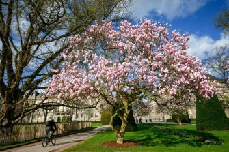 A bike rider passes under a blooming magnolia tree in central Strasbourg, eastern France on March 13, 2020. (Photo by PATRICK HERTZOG / AFP) (Photo by PATRICK HERTZOG/AFP via Getty Images)