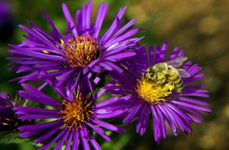 WASHINGTON, DC - SEPTEMBER 29:  A bee forages through a New England Aster during a media preview of the new National Garden at the U.S. Botanic Gardens September 29, 2006 in Washington, DC. The new National Garden will open to the public on October 1, 2006 to help educate visitors about American plants and their role in the environment.  (Photo by Brendan Smialowski/Getty Images)