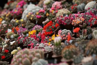 LONDON, ENGLAND - MAY 21:  Cacti are displayed on the 'Southfield Nursery' stand at the RHS Chelsea Flower Show on May 21, 2013 in London, England. The Chelsea Flower Show run by the RHS celebrates its 100th birthday this year.  (Photo by Oli Scarff/Getty Images)
