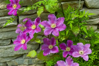 UNITED KINGDOM - JULY 01:  Pink clematis climbing shrub in English cottage garden in Swinbrook in The Cotswolds, Oxfordshire, UK  (Photo by Tim Graham/Getty Images)