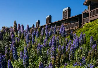BODEGA BAY, CA - APRIL 16:  Pride of Madeira flowers bloom at the Bodega Bay Lodge & Spa on April 16, 2014, in Bodega Bay, California.  Sonoma County's rustic Pacific Ocean coastline attracts millions of Bay Area and global tourists each year. (Photo by George Rose/Getty Images)