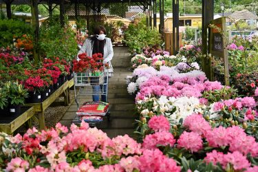 Customers browse at the Azalea section of Old Barn Garden Centre, Dial Post, Horsham in the south of England.on May 13, 2020, as restrictions are eased during the novel coronavirus COVID-19 pandemic. - Britain's Prime Minister Boris Johnson began this week to relax some of lockdown measures in order to help the economy, despite the rising death toll, but he has also stressed that great caution is needed. (Photo by GLYN KIRK / AFP) (Photo by GLYN KIRK/AFP via Getty Images)