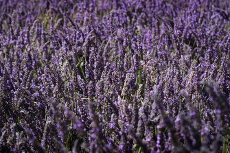 """A picture shows a 500-square-meter lavender field installed at the Old Port (Vieux Port) in Marseille, southern France, on June 29, 2013, as part of 2013 """"Marseille-Provence European Capital of Culture"""".  AFP PHOTO / BORIS HORVAT        (Photo credit should read BORIS HORVAT/AFP via Getty Images)"""