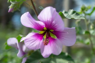 Close-up of Tree Mallow (Lavatera) flower, Walnut Creek, California, March 22, 2020. (Photo by Smith Collection/Gado/Getty Images)