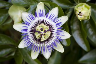UNITED KINGDOM - AUGUST 25:  Passion flower in Sellack, Herefordshire, England, United Kingdom  (Photo by Tim Graham/Getty Images)