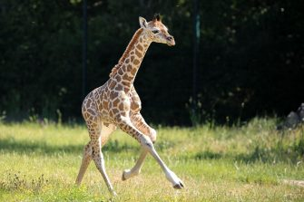 epa08487930 Henry, a newborn Rothschild's giraffe (Giraffa camelopardalis rothschildi) calf, frolics inside his enclosure at the 'Tierpark Berlin' zoo in Berlin, Germany, 16 June 2020. The 11-day-old male was born on 05 June and already measures around 2 meters (6 feet and 6.7 inches) in height and weighs an estimated 60 kilograms (132 pounds). Rothschild's giraffes are a critically-endangered subspecies, with only some 2,000 known specimens remaining in the wild. Adults can reach a height of up to 5.88 meters (19.3 feet) and a weight of around 1.13 tons (2,500 pounds).  EPA/OMER MESSINGER