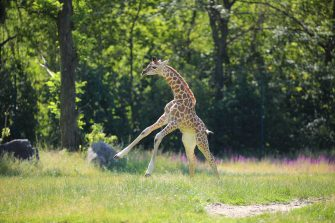 epa08487935 Henry, a newborn Rothschild's giraffe (Giraffa camelopardalis rothschildi) calf, frolics inside his enclosure at the 'Tierpark Berlin' zoo in Berlin, Germany, 16 June 2020. The 11-day-old male was born on 05 June and already measures around 2 meters (6 feet and 6.7 inches) in height and weighs an estimated 60 kilograms (132 pounds). Rothschild's giraffes are a critically-endangered subspecies, with only some 2,000 known specimens remaining in the wild. Adults can reach a height of up to 5.88 meters (19.3 feet) and a weight of around 1.13 tons (2,500 pounds).  EPA/OMER MESSINGER