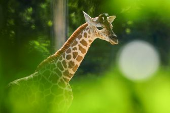 epa08487939 Henry, a newborn Rothschild's giraffe (Giraffa camelopardalis rothschildi) calf, frolics inside his enclosure at the 'Tierpark Berlin' zoo in Berlin, Germany, 16 June 2020. The 11-day-old male was born on 05 June and already measures around 2 meters (6 feet and 6.7 inches) in height and weighs an estimated 60 kilograms (132 pounds). Rothschild's giraffes are a critically-endangered subspecies, with only some 2,000 known specimens remaining in the wild. Adults can reach a height of up to 5.88 meters (19.3 feet) and a weight of around 1.13 tons (2,500 pounds).  EPA/OMER MESSINGER  EPA-EFE/OMER MESSINGER