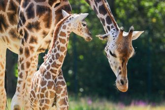 epa08487964 Henry, a newborn Rothschild's giraffe (Giraffa camelopardalis rothschildi) calf, stands next to his mother, Amalka, in their enclosure at the 'Tierpark Berlin' zoo in Berlin, Germany, 16 June 2020. The 11-day-old male was born on 05 June and already measures around 2 meters (6 feet and 6.7 inches) in height and weighs an estimated 60 kilograms (132 pounds). Rothschild's giraffes are a critically-endangered subspecies, with only some 2,000 known specimens remaining in the wild. Adults can reach a height of up to 5.88 meters (19.3 feet) and a weight of around 1.13 tons (2,500 pounds).  EPA/OMER MESSINGER
