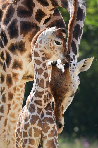 epa08487965 Henry, a newborn Rothschild's giraffe (Giraffa camelopardalis rothschildi) calf, cuddles with his mother, Amalka, in their enclosure at the 'Tierpark Berlin' zoo in Berlin, Germany, 16 June 2020. The 11-day-old male was born on 05 June and already measures around 2 meters (6 feet and 6.7 inches) in height and weighs an estimated 60 kilograms (132 pounds). Rothschild's giraffes are a critically-endangered subspecies, with only some 2,000 known specimens remaining in the wild. Adults can reach a height of up to 5.88 meters (19.3 feet) and a weight of around 1.13 tons (2,500 pounds).  EPA/OMER MESSINGER